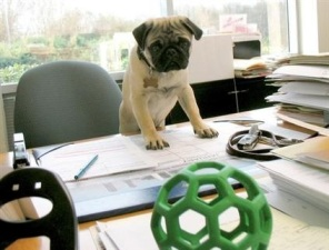 pug working hard